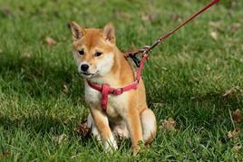 Dog, Pet, Leash, Lead, Harness, Grass